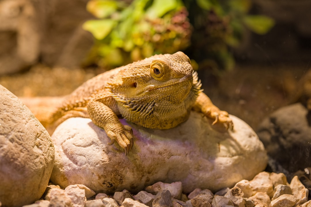A reptile on a rock